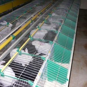 Éleveur de lapins et volailles 1