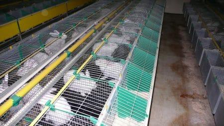 élevage de lapins - droit d'auteur : Wikimedia– License CC0