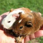 Cochons d'inde de 24H - Droit d'auteur: Wikipédia – License CC0