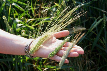 Épis d'orge, de blé et de seigle - droit d'auteur : Wikipedia – License CC0