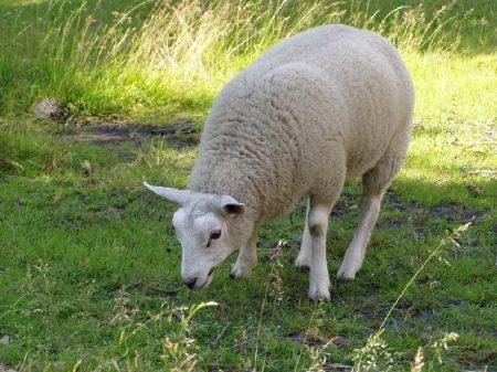 Mouton de race texel - droit d'auteur : Pixabay – License CC0