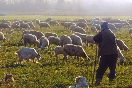 eleveur avec ses moutons