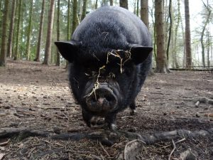 elevage-de-porc